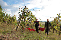 Owners Dante Lomazzi and Helena Variara of Colombaia winery.  The annual harvest of Sangiovese grapes, in the Colle di Val d' Elsa region of Tuscany, Italy