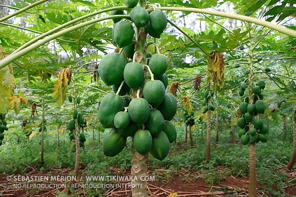 Champ de papayes (exploitation La Ferme du Sud, Mont-Dore)