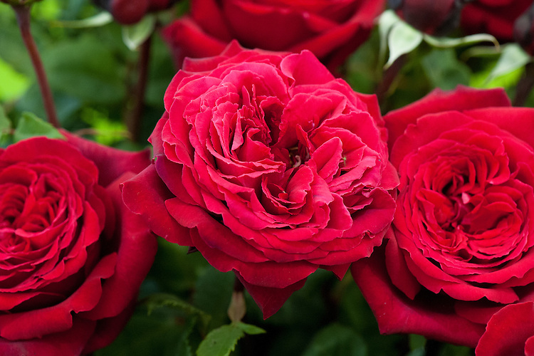 Rosa Red Parfum de Provence ('Meiafone'), early July. A richly scented, deep red Hybrid Tea rose, bred by Meilland of France.