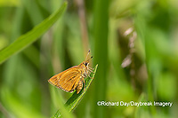 03732-00108 Byssus Skipper (Problema byssus) St. Francois Co. MO