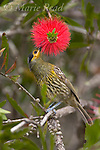 Honeyeaters: Australia