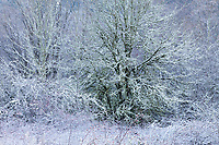 Sugarcoated Frozen Trees, Soos Creek Park, Kent, WA, USA.
