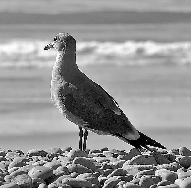 Seagulls on rocky beach, San Elijo State Beach