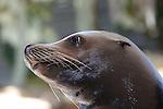 California Sea Lion, Zalophus californianus
