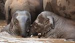 Asian elephants, Bandhavgarh National Park, India