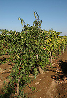 Azienda Agricola Casale Marchese è una azienda in una delle zone più tipiche della produzione del vino Frascati D.O.C. Situata nell'area dei Castelli Romani..The Casale Marchese company lies in Roman Hills. The most typical area for the wine production Frascati D.O.C..