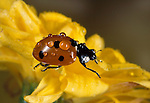 7 Spot Ladybird, coccinella septempunctata, adult on yellow flower with water droplets, rain, seven, red with black spots.United Kingdom....
