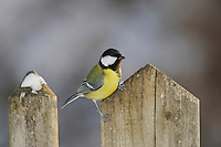 Great Tit (Parus major), female perched on wooden fence, Zug,Switzerland, December 2007