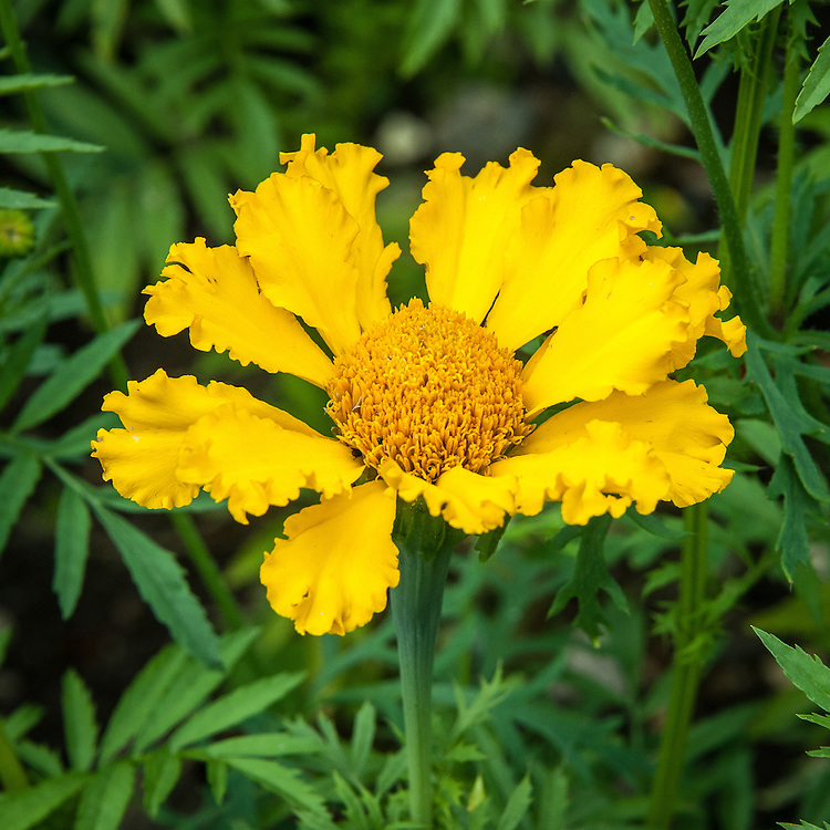 Tagetes erecta (African marigold), mid July. sometimes also known as the Mexican or Aztec marigold.