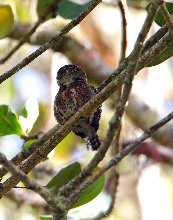 Female Costa Rican pygmy-owl, brown morph, in tree near nesting tree. The male was tending the nest. This is bird is active both night and day. The bird was in primal oak forest high above the Savegre River.