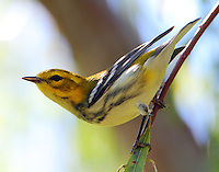 Female black-throated green warbler in fall migration