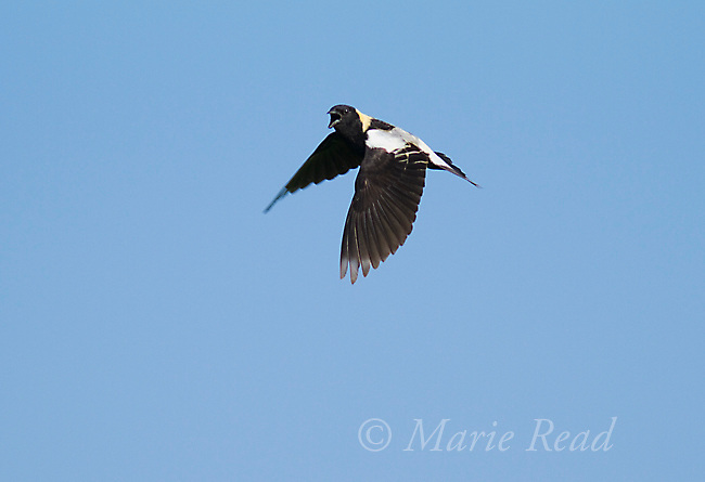 Bobolink (Dolichonyx oryzivorus ) male singing during aerial territorial/courtship display, New York, USA.