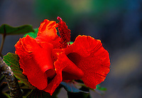 Endangered kokia flower with vivid red pedals