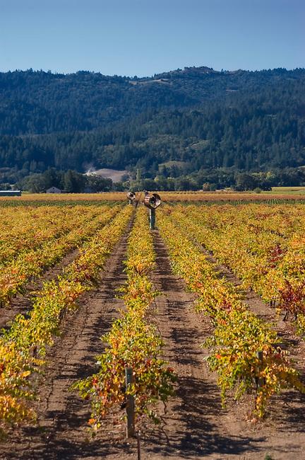 Fall colors in vineyard