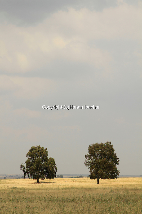 Golan Heights, Eucalyptus trees near Umm el Kanatir ancient Synagogue