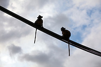 January 1st, 2009_Phnom Penh, Cambodia_ Wild monkeys sit on a power line in the Cambodian capital city of Phnom Penh.   Photographer: Daniel J. Groshong/Tayo Photo Group