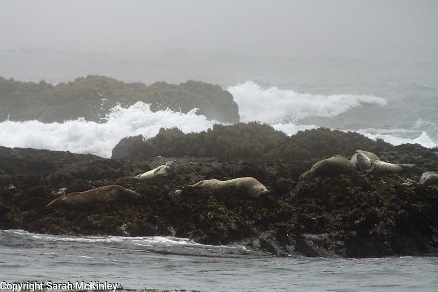 Seals lounge on the rocks as the waves of Pacific Ocean crash nearby at MacKerricher State Park near Fort Bragg in Mendocino County in Northern California.