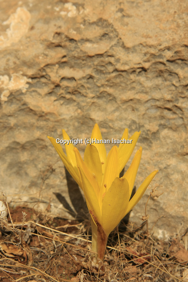 Judea, Sternbergia clusiana in the Judean mountains