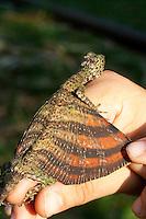 Flying Dragon, Draco sp. Bukit Sarang, South of Bintulu, Sarawak, Malaysia; Borneo;