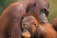 Orangutan (Pongo pygmaeus) mother with baby.(Lowery Park Zoo, Tampa, Florida).