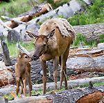 An elk cow and her newborn calf stand amid fallen trees in Yellowstone National Park.