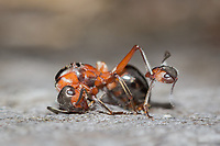 Deceased wood ant queen (Formica rufa) with decapitated worker attached. Dorset, UK.