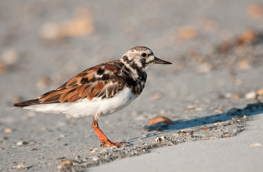Ruddy Turnstone in the beach, the turnstone is a small wading bird. Scientific name, Arenaria Interpres