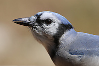Texas Blue Jay @ 12:00 sharp.
