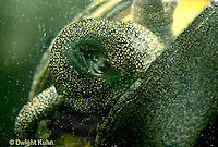 1Y04-042z  Water Snail - mystery snail showing mouth - Campeloma spp.