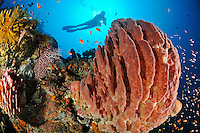 Xestospongia testudinaria, Taucher am bunten Korallenriff mit Weichkorallen und Tonnenschwamm, scuba diver with colorful coral reef and soft corals and barrel sponge,  Bali, Turlamben, Indonesien, Indopazifik, Bali, Indonesia Asien, Indo-Pacific Ocean, Asia