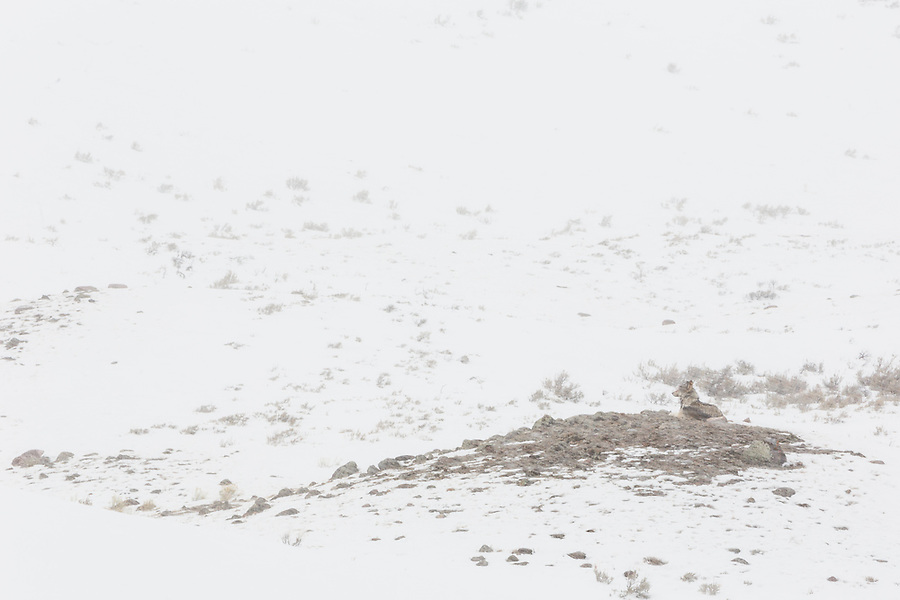A single gray wolf sits on a rocky hill during a blizzard in Yellowstone National Park, Wyoming.