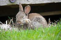 Young European rabbit scratching in a garden, Lancashire.