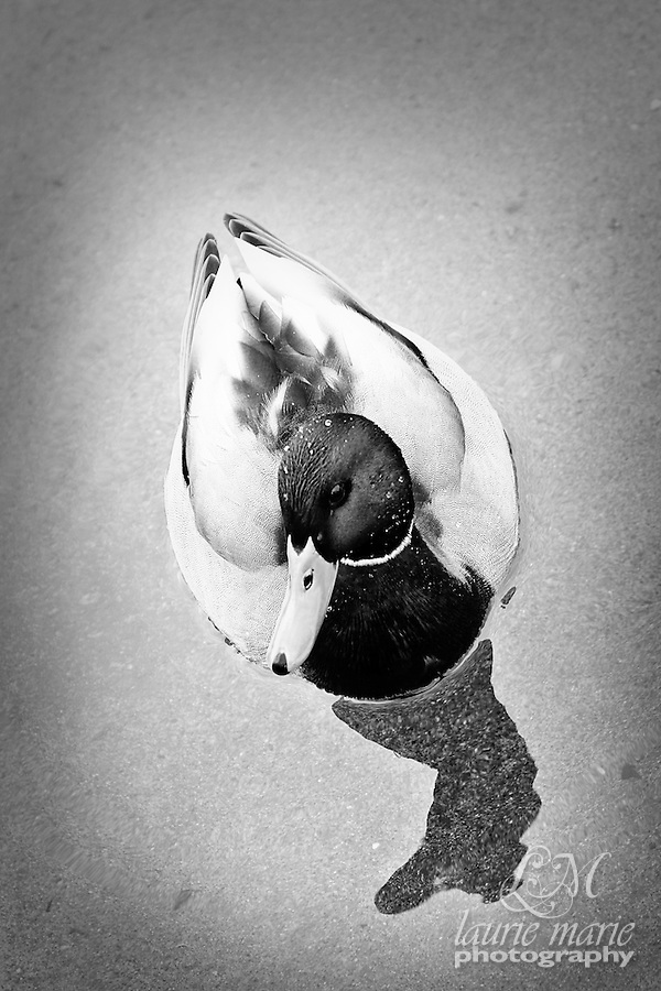 Mallard duck BW - vertical crop