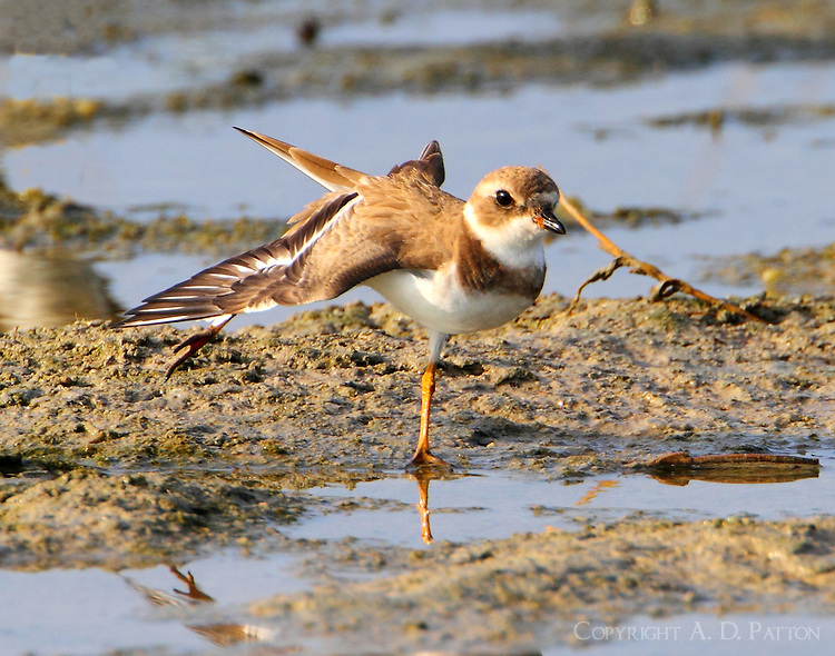 Adult semipalmated plover in winter plumage stretching
