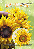 Marcello, FLOWERS, BLUMEN, FLORES, paintings+++++,ITMCEDF1079,#F#, EVERYDAY ,sunflowers