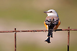 A scissor-tail flycatcher.