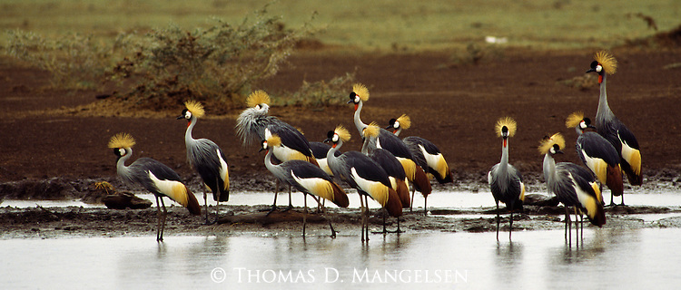 Crowned cranes gather on the shores of Lake Manyara, Tanzania.