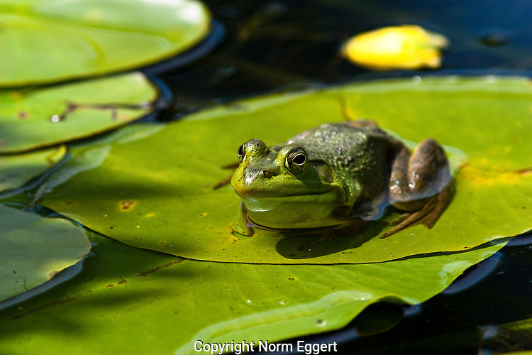 A bull frog sitting on a water lily leaf