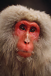 Snow monkey portrait, Japan