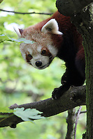 Stock image of a small red panda climbing down a tree branch in Berlin Tier park.<br /> <br /> (For Editorial use only)