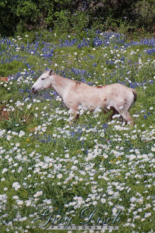 A horse in a field of Wildflowers in the Texas Hill Country near Fredericksburg Texas.   Bluebonnets, the official Texas state flower, blanket large portions of the state in early spring. Their peak blooming season is in late March and early April. Bluebonnets depend on abundant winter rains and warm spring weather.