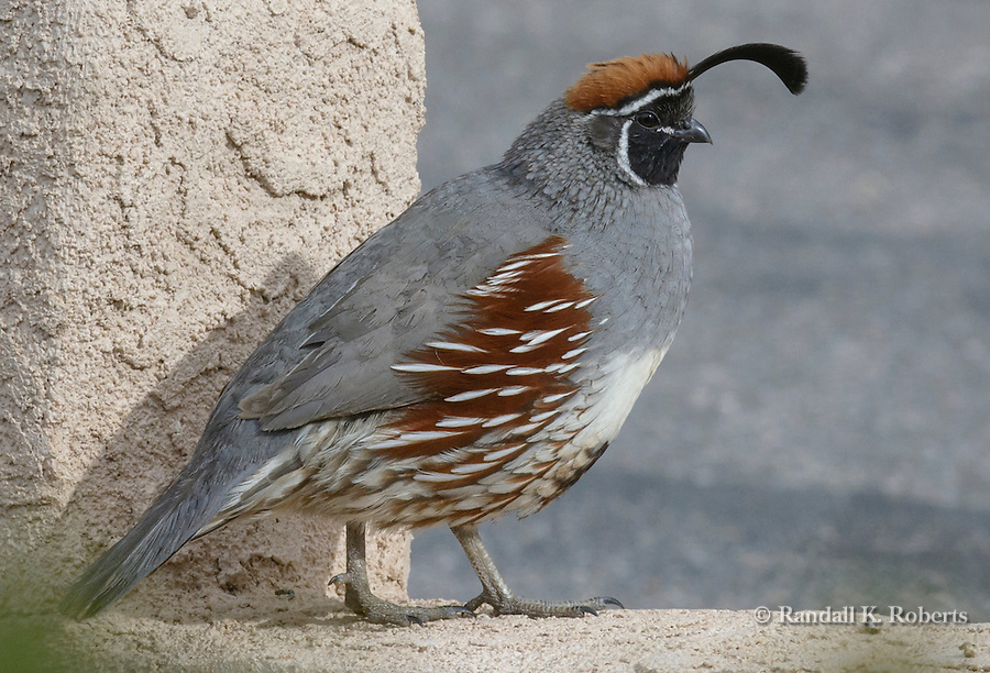 Male Gambel's Quail, New Mexico. Callipepla gambelii