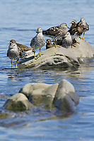Surfbirds and Black Turnstone shorebirds, Channel Island, Montague straits, Prince William Sound, Alaska
