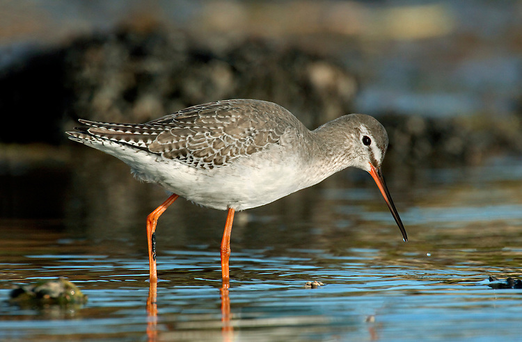 Spotted Redshank Tringa erythropus L 30cm. Similar to Redshank but with longer legs and bill. In flight, note uniform upperwings (no white trailing edge) and distinctive flight call. Often feeds in deep water and swims sometimes. Sexes are similar. Adult in breeding plumage (seen in late spring and summer) is mainly black with white eyering and dotted white fringes to back feathers; incomplete breeding plumage is more typically observeed. In winter, has pale grey upperparts and clean, whitish underparts. Legs are reddish and note pale supercilium. Juvenile recalls winter adult but plumage is overall darker and underparts are barred; legs are orange-yellow. Voice Utters a diagnostic tchewit call. Status Regular but scarce passage migrant; winters in small numbers on estuaries mainly in S.