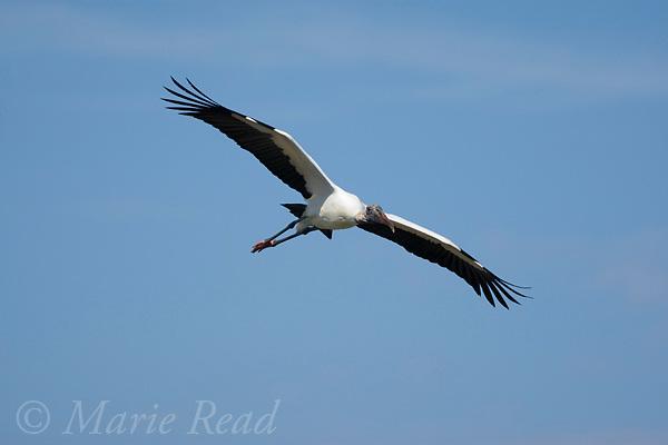 Wood Stork (Mycteria americana) in flight, Orlando, Florida, USA