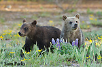 Young grizzly bear cubs. Grand Teton National Park, Wyoming.
