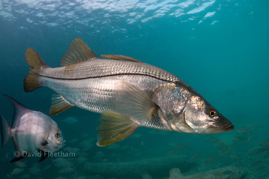 Common snook, Centropomus undecimalis, off the island of Curacao in the Caribbean.