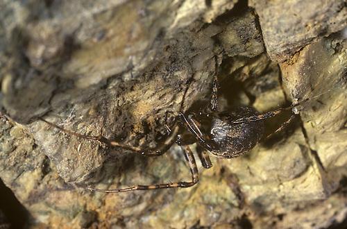 Cave Spider - Metellina merianae