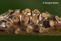 AM05-555z  Ambush Bugs Eggs, Phymata americana
