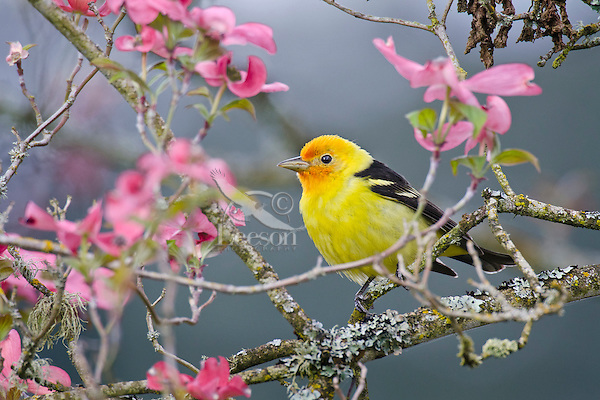 Male Western Tanager in pink dogwood tree.  Pacific Northwest.  Spring.
